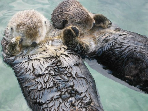 sea_otters_holding_hands