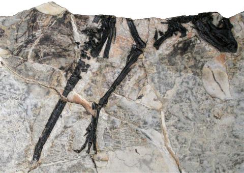 tianyulong-specimen-480