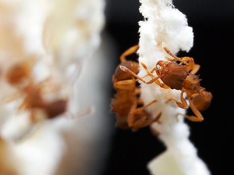 all-female-ants