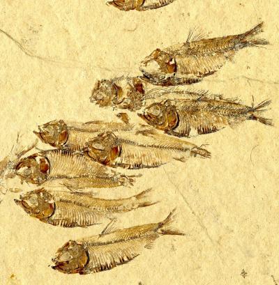 herrings that survive