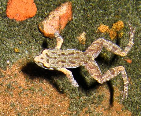 kimberley-froglet