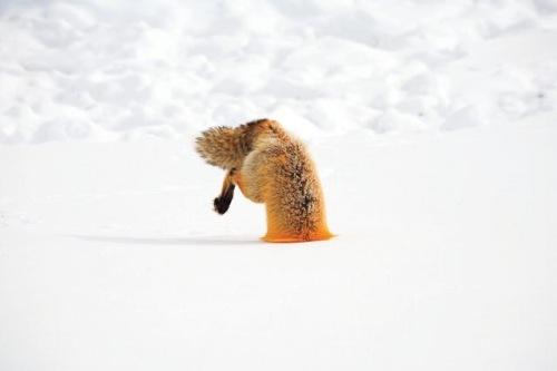 red-fox-animal