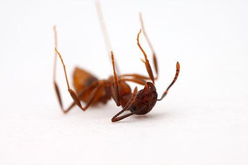هل تعلم أن النمل يدفن موتاه بعد يومين من وفاتهم بسبب حمض الأوليك