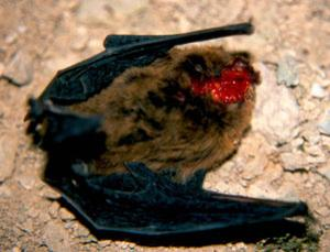 pipistrelle bat beheaded - great tit