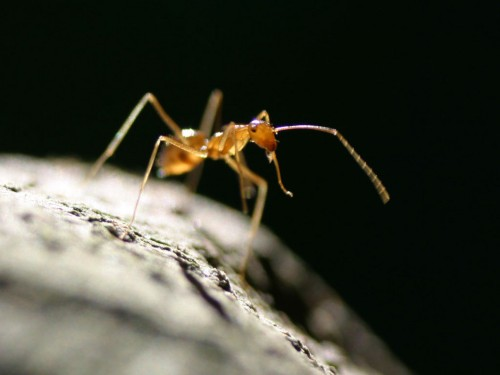yellow crazy ant