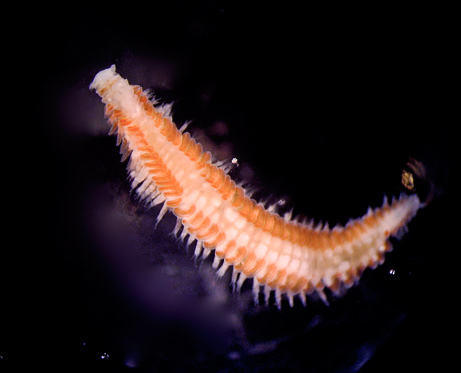 new-polychaete-eat-dead-whales