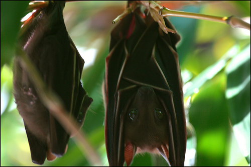 short nosed fruit bat fellatio Cynopterus sphinx