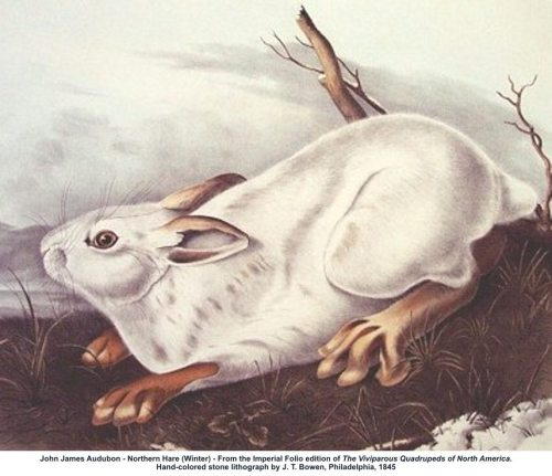 John James Audubon Northern Hare Winter
